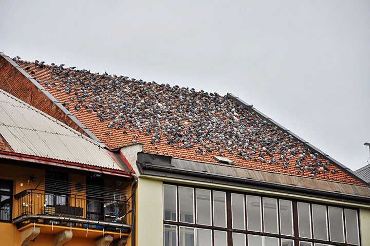 A2B Pest Control are able to install spikes to deter birds from roofs in Hockley.